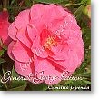 Camellia japonica General George Patton