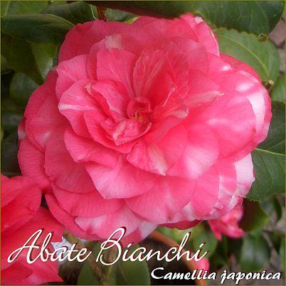 Abate Bianchi - Camellia japonica - Preisgruppe 2