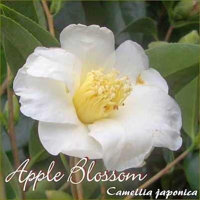 Apple Blossom - Camellia japonica - Preisgruppe 5