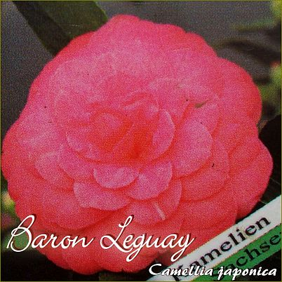 Baron Leguay - Camellia japonica - Preisgruppe 2