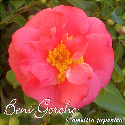 Beni Goroho - Camellia japonica - Preisgruppe 2