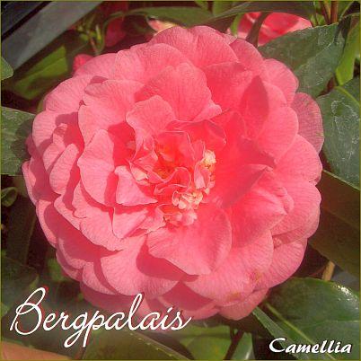Bergpalais - Camellia - Preisgruppe 2