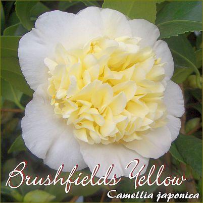 Brushfields Yellow - Camellia japonica - Preisgruppe 4