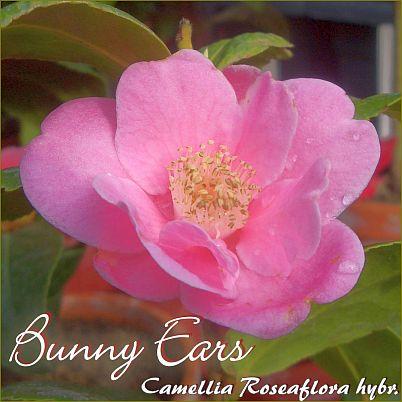 Bunny Ears - Camellia roseaflora hybrid - Preisgruppe 2
