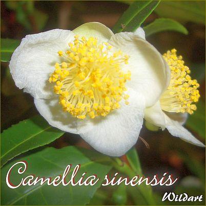 Camellia sinensis - Wildart - Preisgruppe 2