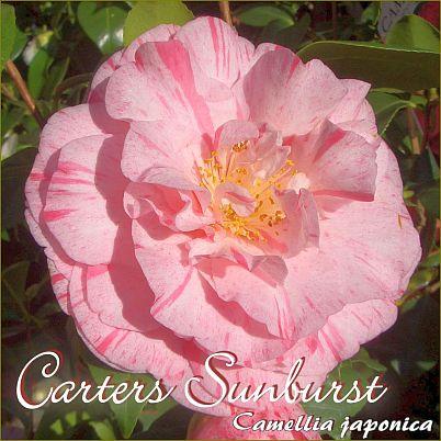 Carters Sunburst - Camellia japonica - Preisgruppe 2