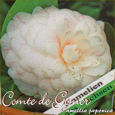 Comte de Gomer - Camellia japonica - Preisgruppe 2