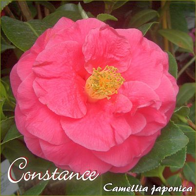 Constance - Camellia japonica - Preisgruppe 2