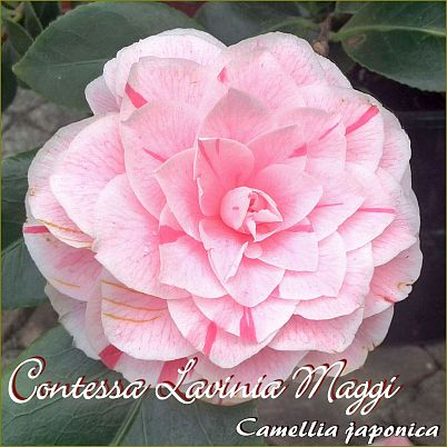 Contessa Lavinia Maggi - Camellia japonica - Preisgruppe 4
