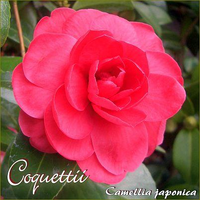 Coquettii - Camellia japonica - Preisgruppe 2