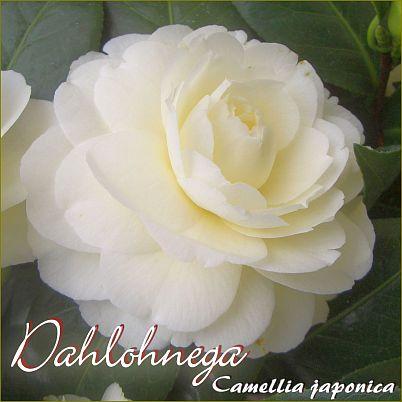 Dahlohnega - Camellia japonica - Preisgruppe 2