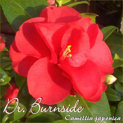 Dr. Burnside - Camellia japonica - Preisgruppe 2