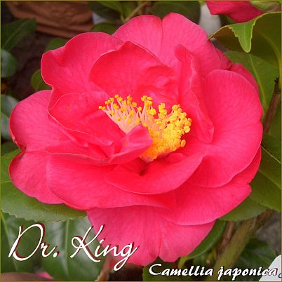 Dr. King - Camellia japonica - Preisgruppe 2