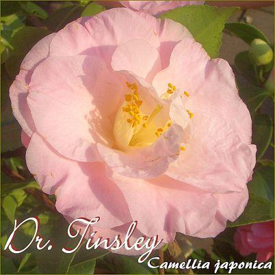 Dr. Tinsley - Camellia japonica - Preisgruppe 2