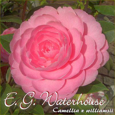 E. G. Waterhouse - Camellia x williamsii - Preisgruppe 5
