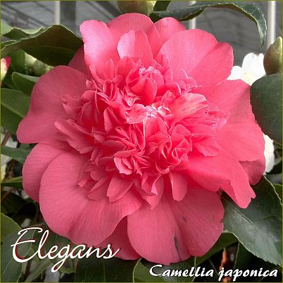 Elegans - Camellia japonica - Preisgruppe 2