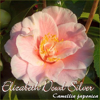 Elizabeth Dowd Silver - Camellia japonica - Preisgruppe 4