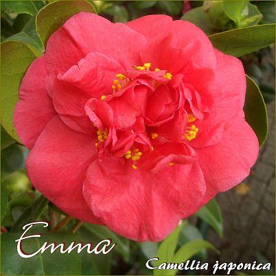 Emma - Camellia japonica - Preisgruppe 4