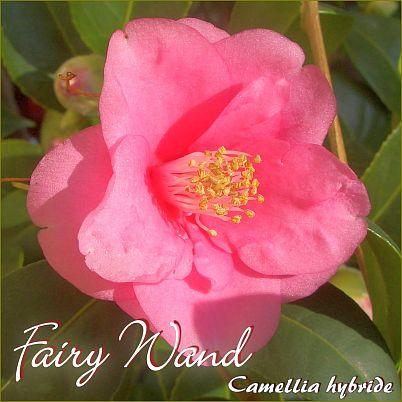 Fairy Wand - Camellia hybride - Preisgruppe 2