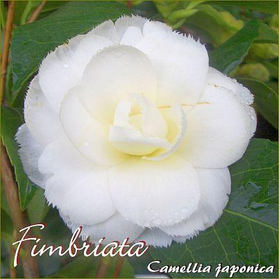 Fimbriata - Camellia japonica - Preisgruppe 4