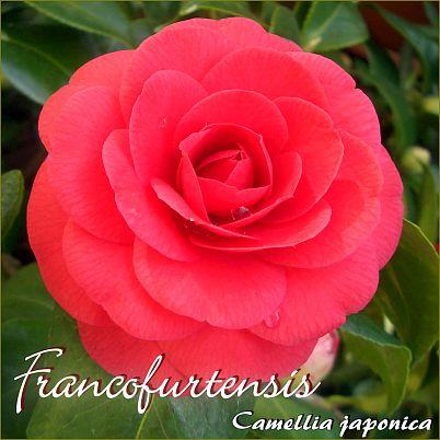 Francofurtensis - Camellia japonica - Preisgruppe 2