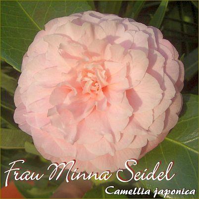 Frau Minna Seidel - Camellia japonica - Preisgruppe 4