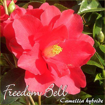 Freedom Bell - Camellia hybride - Preisgruppe 2