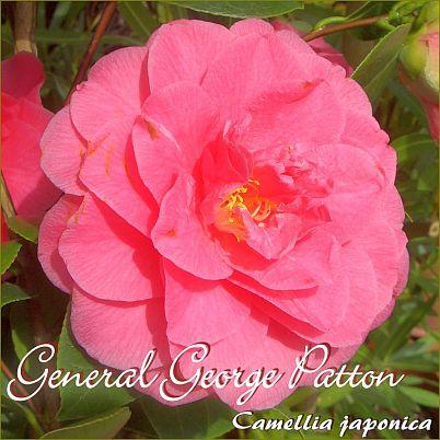 General George Patton - Camellia japonica - Preisgruppe 2