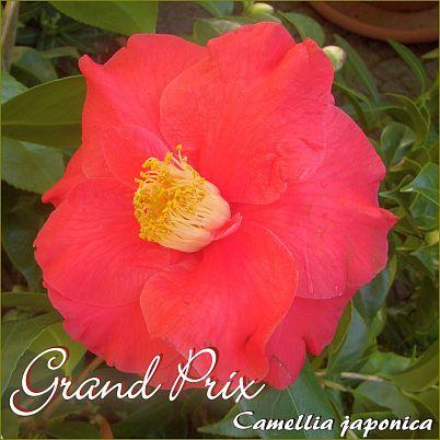 Grand Prix - Camellia japonica - Preisgruppe 4