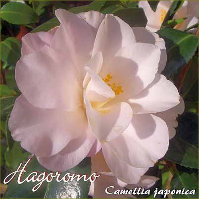 Hagoromo - Camellia japonica - Preisgruppe 4