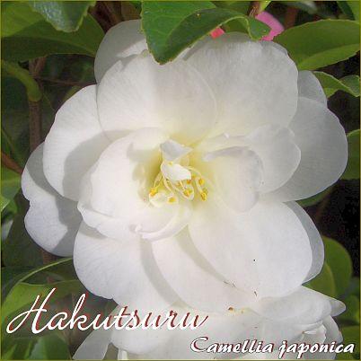 Hakutsuru - Camellia japonica - Preisgruppe 2