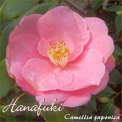 Hanafuki - Camellia japonica - Preisgruppe 4