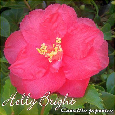 Holly Bright - Camellia japonica - Preisgruppe 2