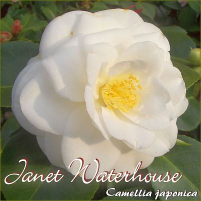 Janet Waterhouse - Camellia japonica - Preisgruppe 2