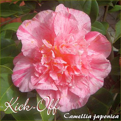 Kick-Off - Camellia japonica - Preisgruppe 4