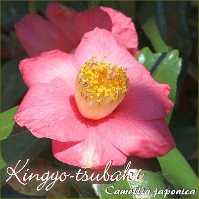 Kingyo-tsubaki - Camellia japonica - Preisgruppe 5