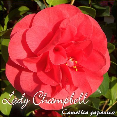 Lady Campbell - Camellia japonica - Preisgruppe 4