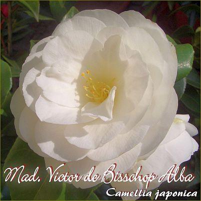 Mad. Victor de Bisschop Alba - Camellia japonica - Preisgruppe 2