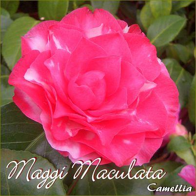 Maggi Maculata - Camellia - Preisgruppe 2