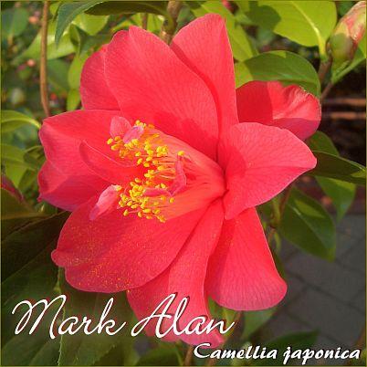 Mark Alan - Camellia japonica - Preisgruppe 2