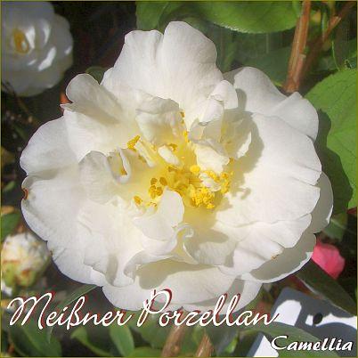 Meißner Porzellan - Camellia - Preisgruppe 2