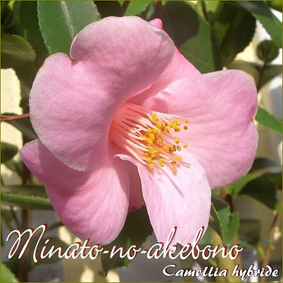 Minato-no-akebono - Camellia hybride - Preisgruppe 2