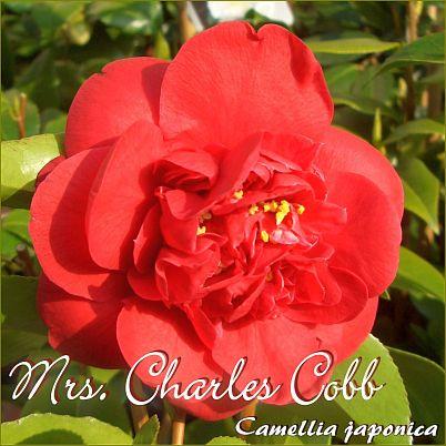 Mrs. Charles Cobb - Camellia japonica - Preisgruppe 4