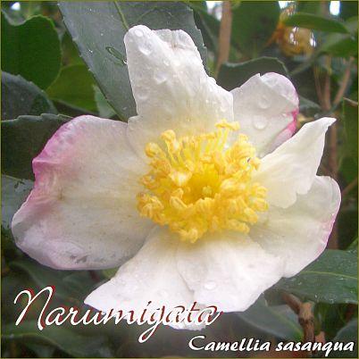 Narumigata - Camellia sasanqua - Preisgruppe 5