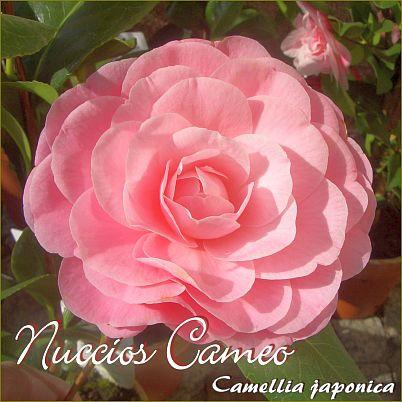 Nuccio´s Cameo - Camellia japonica - Preisgruppe 5