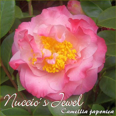 Nuccio´s Jewel - Camellia japonica - Preisgruppe 5