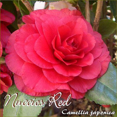 Nuccio´s Red - Camellia japonica - Preisgruppe 4