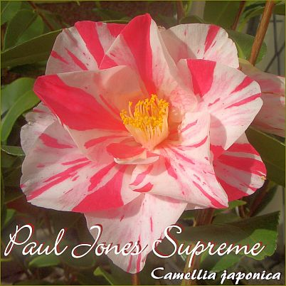 Paul Jones Supreme - Camellia japonica - Preisgruppe 4