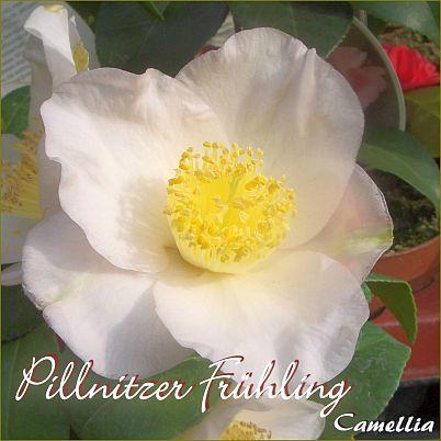Pillnitzer Frühling - Camellia - Preisgruppe 2