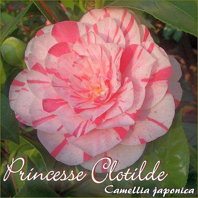 Princesse Clotilde - Camellia japonica - Preisgruppe 2